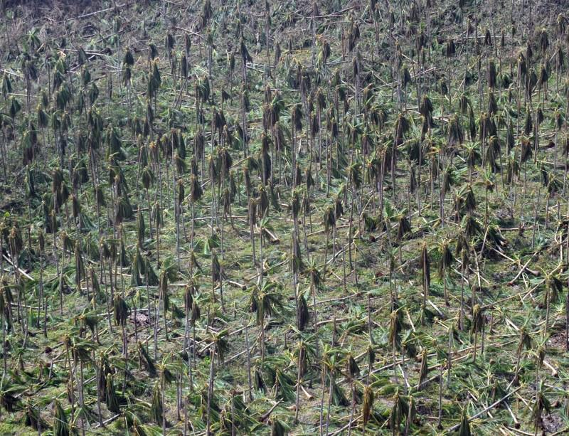 Trees knocked down by typhoon Haiyan in the Philippines could release a pulse of carbon