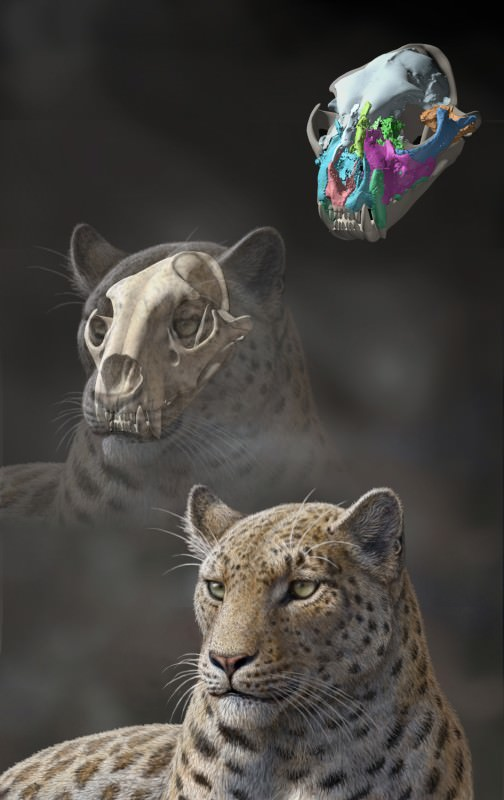 Reconstruction of Panthera blytheae based on the newly discovered skull