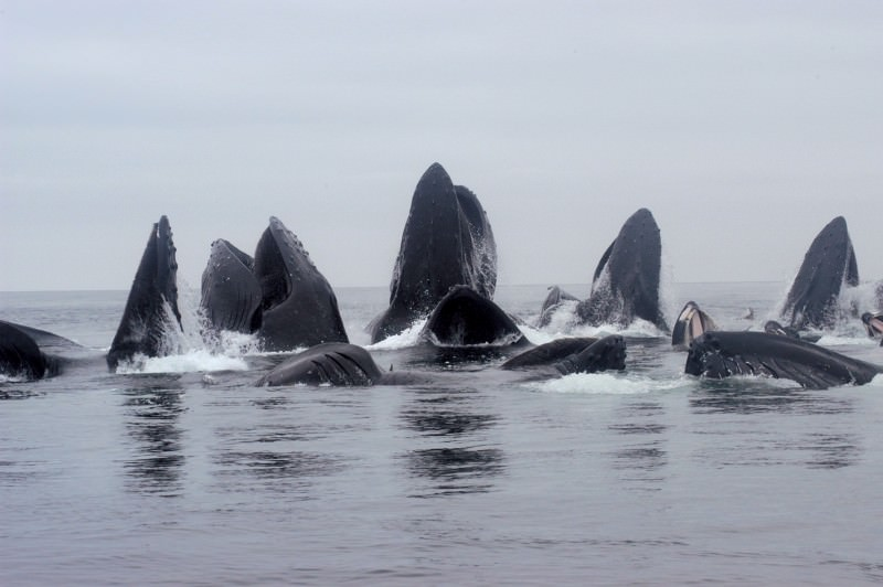 Bubble-blowing humpback whales grouped by genetics