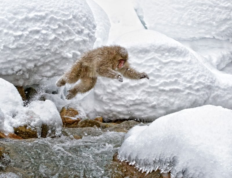 Snow monkey leaps into hell