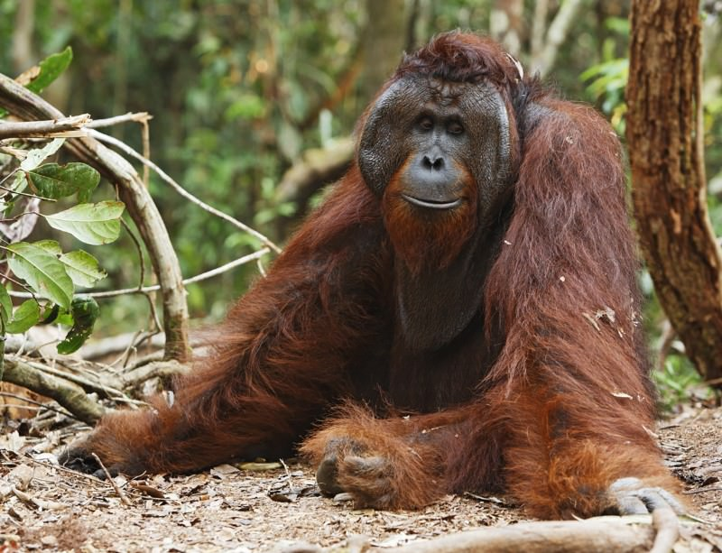 Orang-utan survival tactics: do nothing