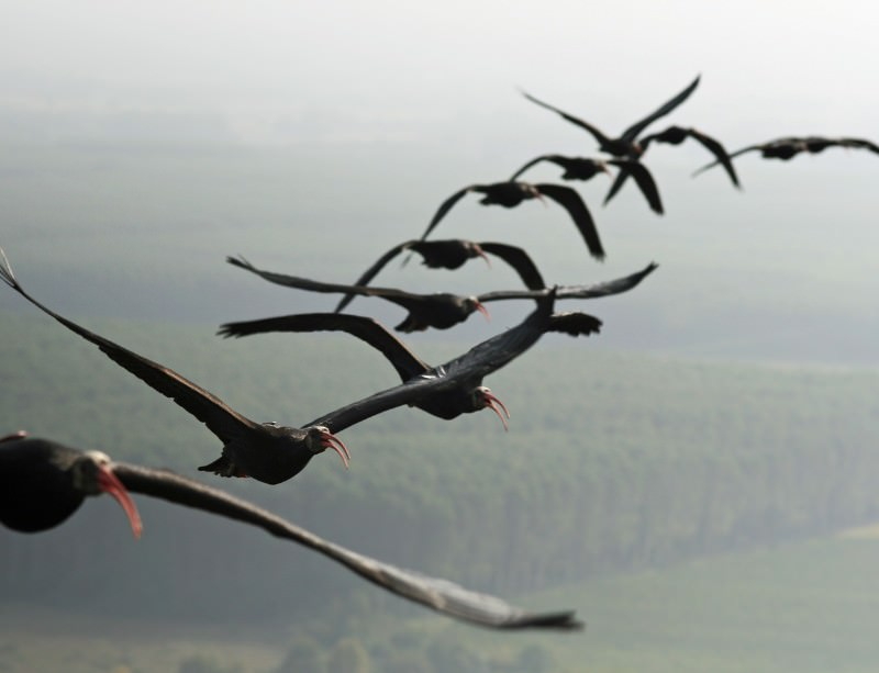 Ibises get fly with a little help from their friends