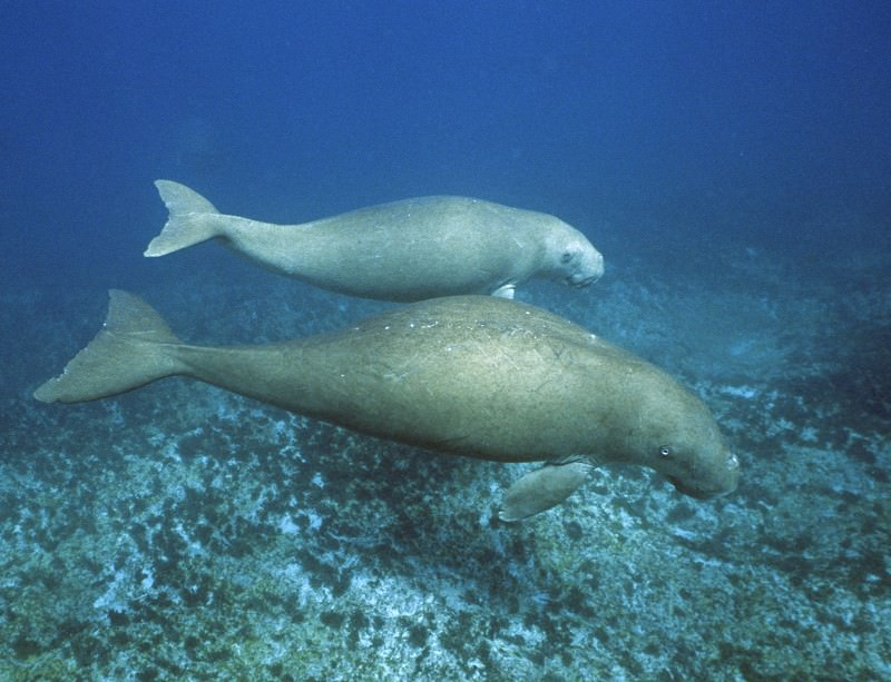 The sludge dump could spell trouble for dugongs