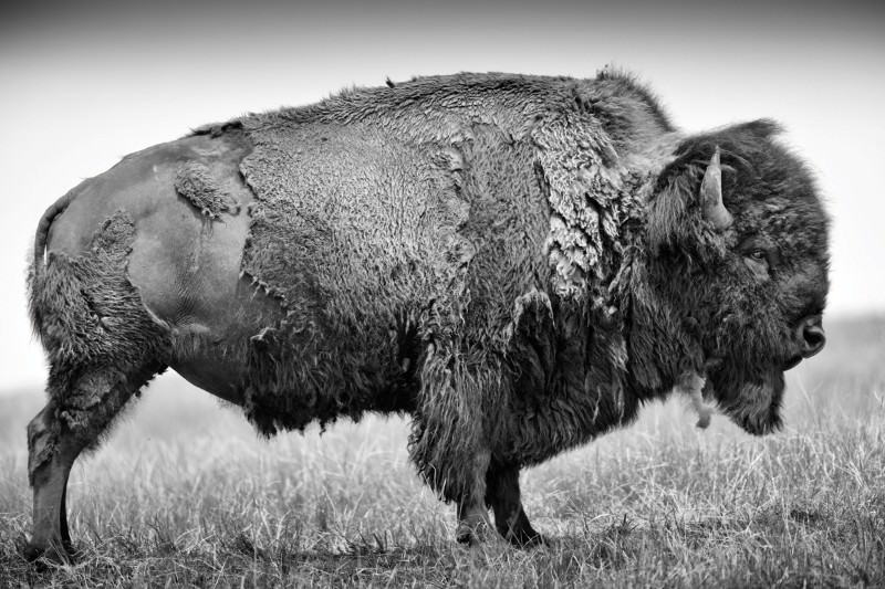 Buffalo stance: Broadside of an American icon