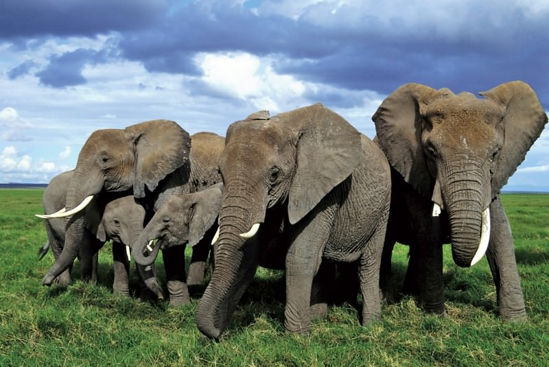 Pachyderm politics and the powerful female