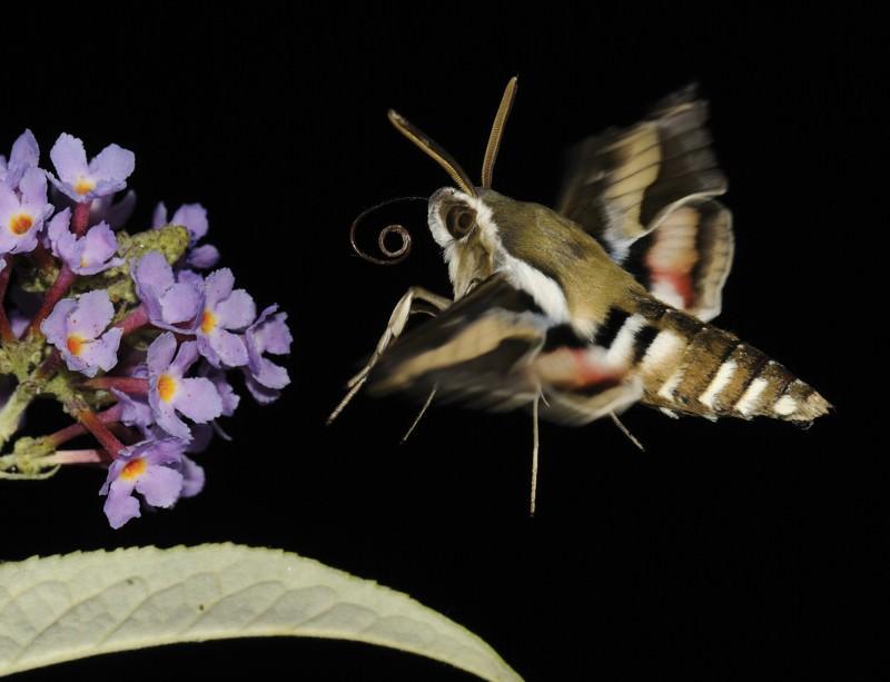 Sky spies make like a moth