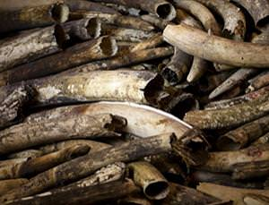 A tragedy behind every pair of tusks
