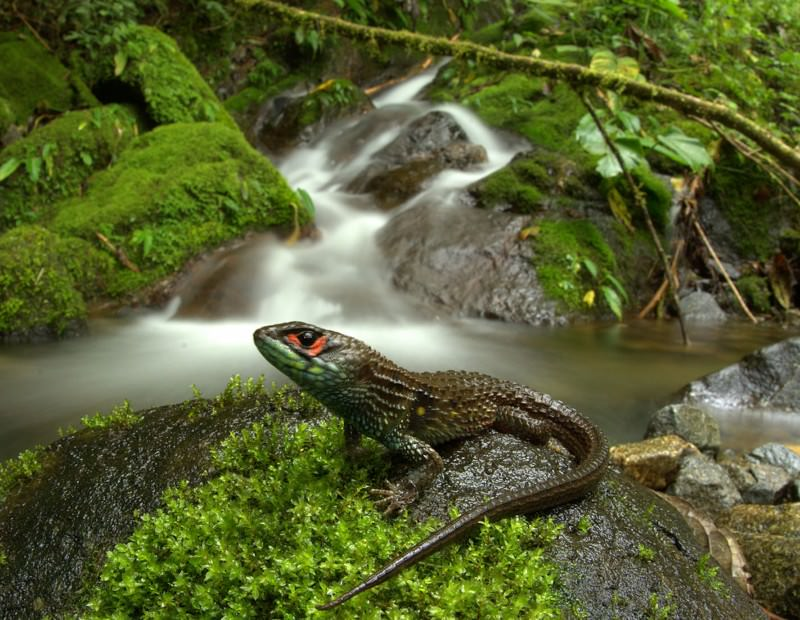 Chilled spiky lizard helps Peruvian park nab a record
