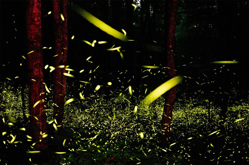 Light my fire? Male fireflies flash together for sex