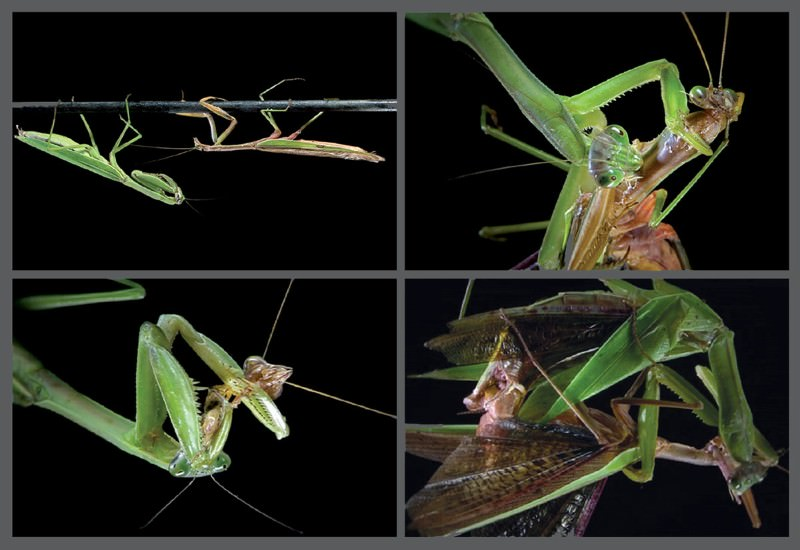 Cure for love: Sex with a mantis ends in dinner