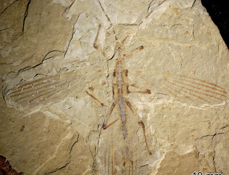 The stripy stick insect that walked with dinosaurs