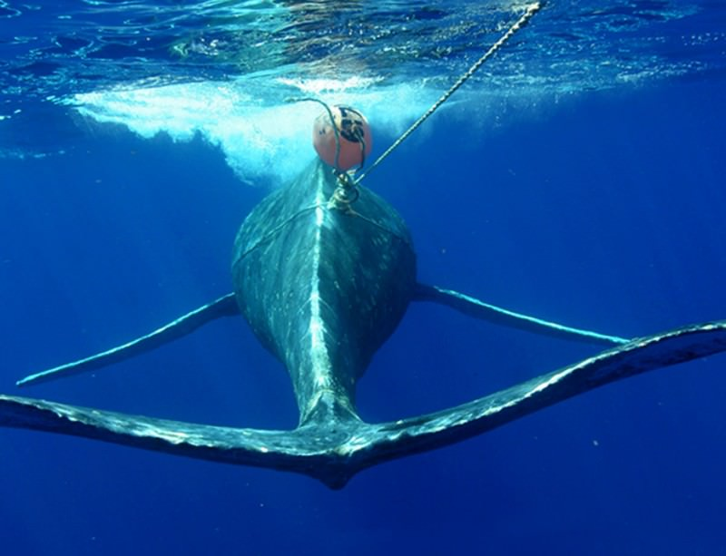 Whale's bacterial stowaways reveal how stressed it is