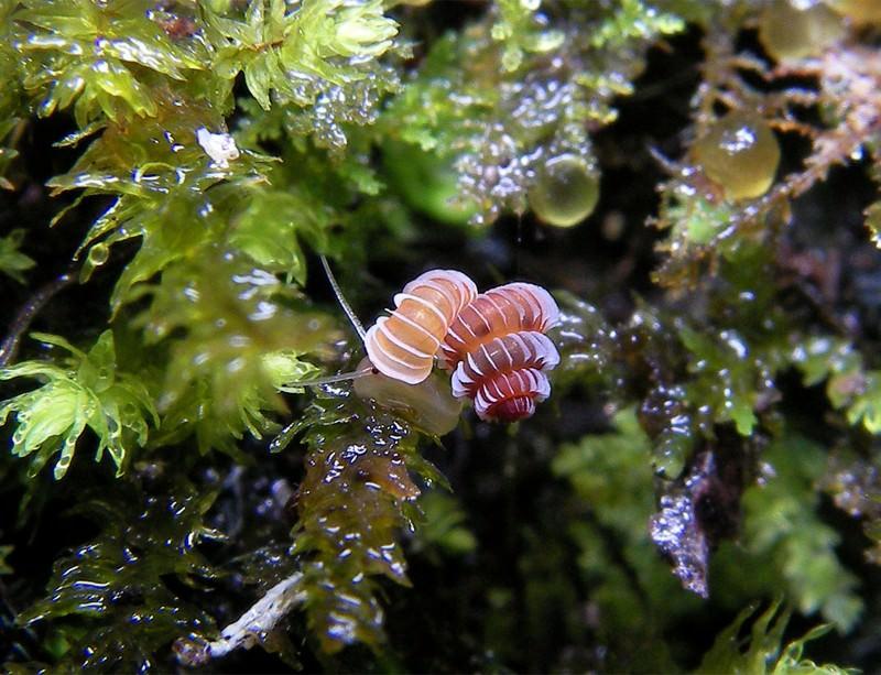 Just described 'microjewel' snail in extinction danger