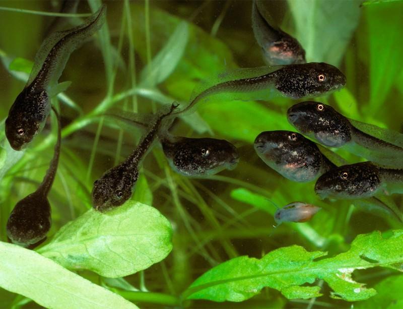Wood frog tadpoles - photo#26