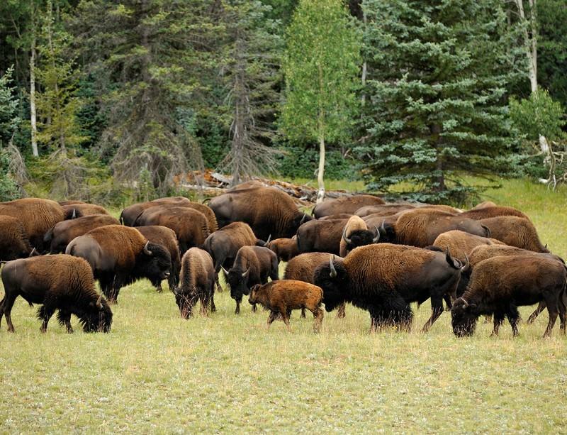 A home where the beefalo roam