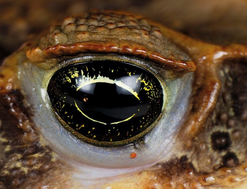 Aliens versus predators: The toxic toad invasion