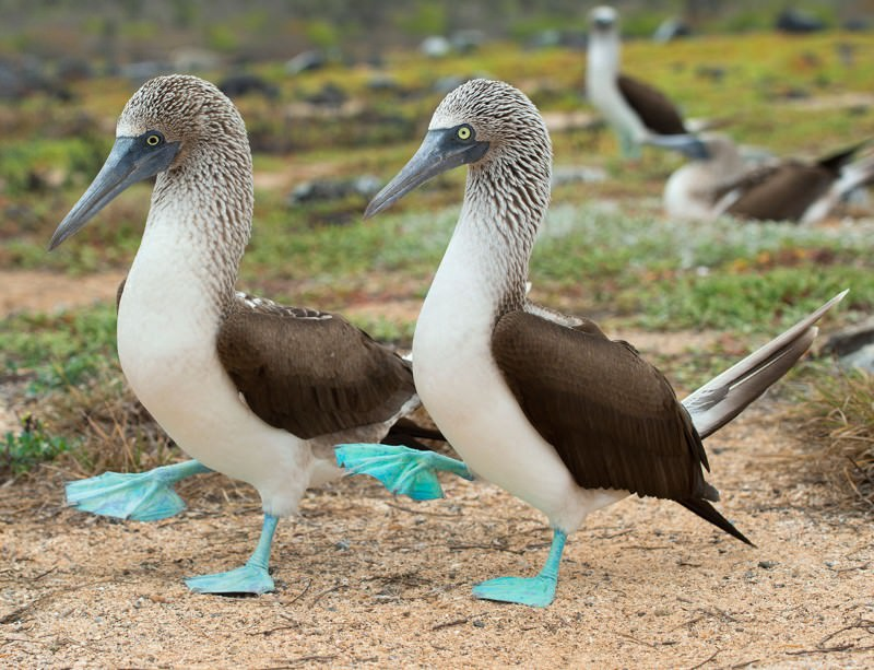 Blue-footed boogie isn't enough for booby babies