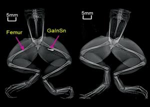 The metal alloy GaInSn is easily picked up by X-ray (left) and removed (right)