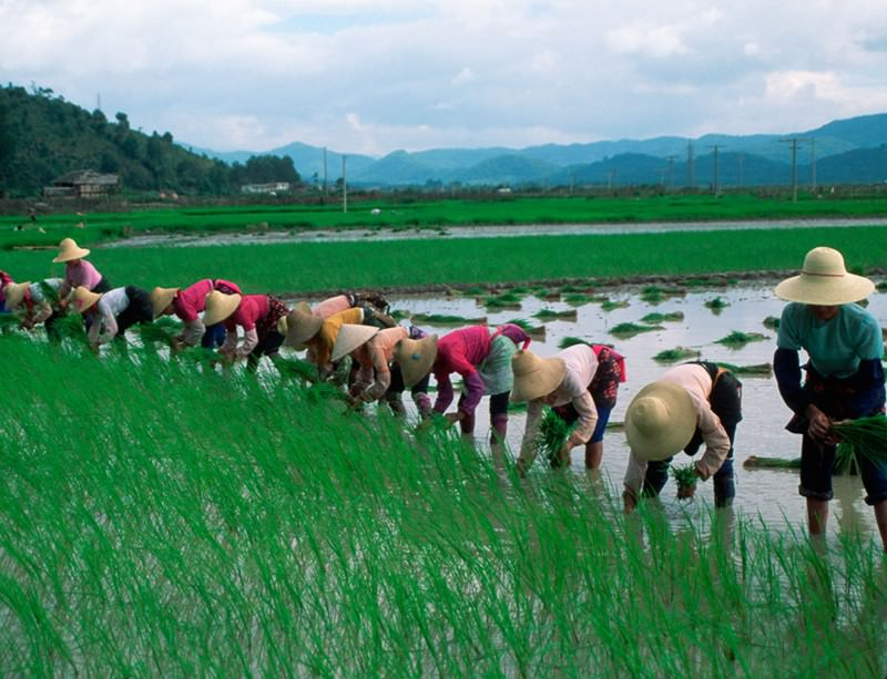 Put your village into it, people. Rice farming takes long-term team work