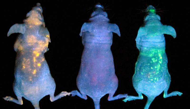 Glowing space mice show where quantum dots lodge