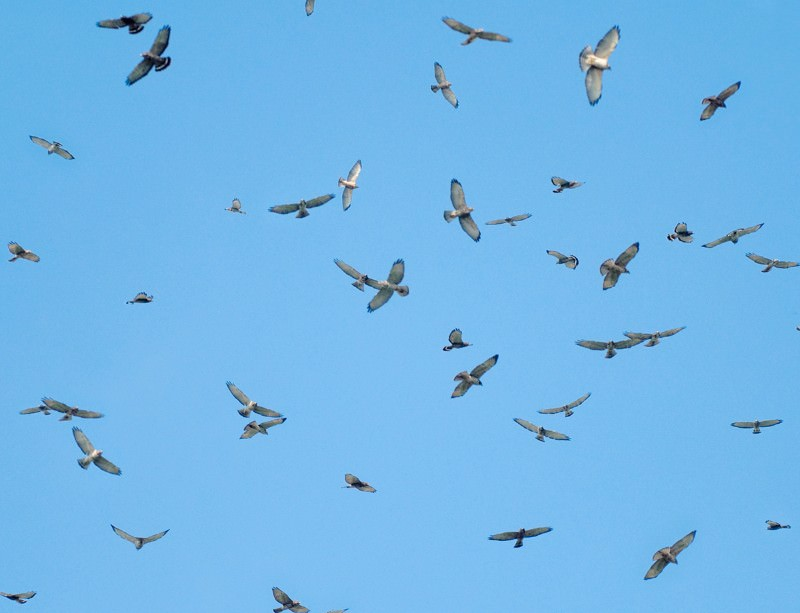 Broad-winged hawks gather during their migration