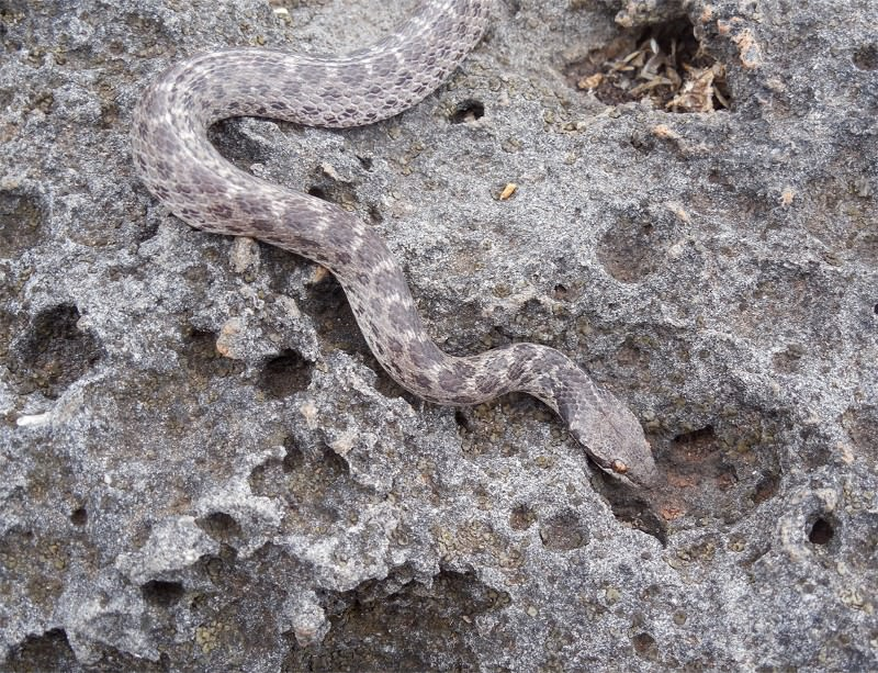 Lonely snake rediscovered in footsteps of a legend