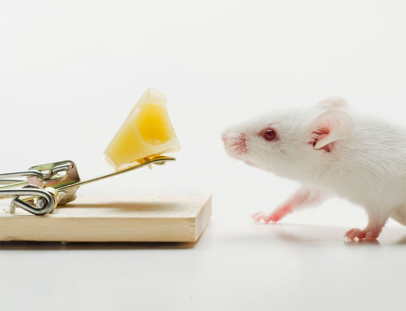 Lifespan boost for mice that feel less pain