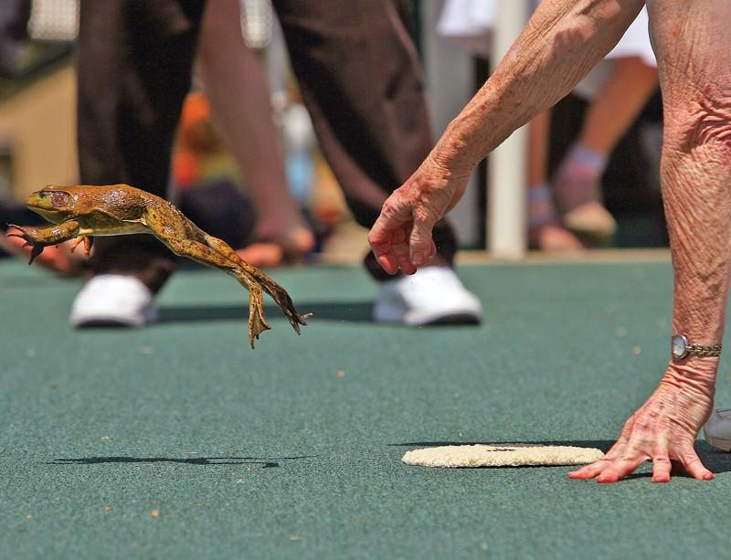 Jumping Frog Jubilee: Secrets of amphibian Olympians