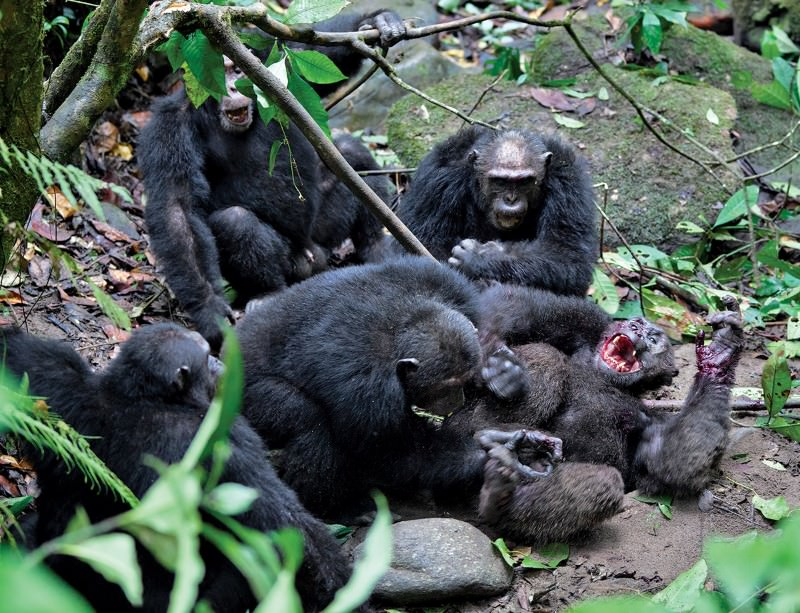 Chimp wars are rare, but they're a violent lot
