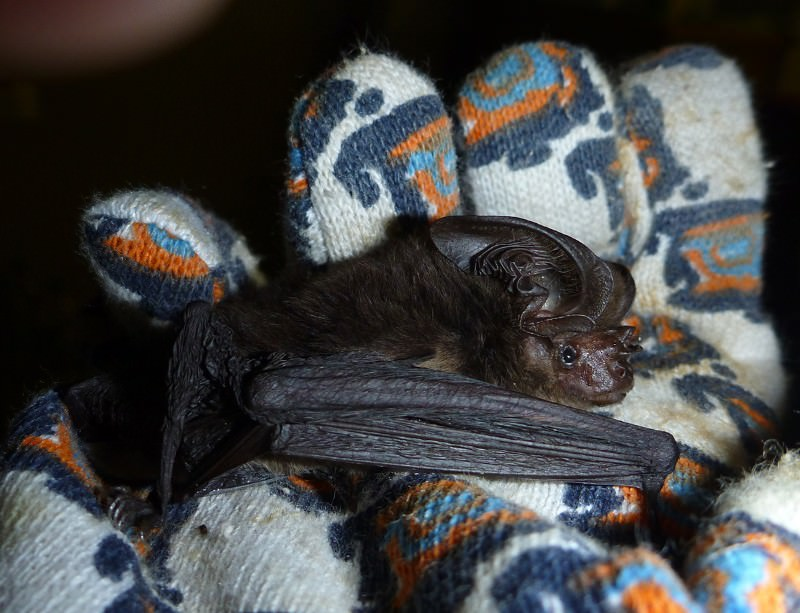 'Extinct' big-eared bat was just playing hide-and-seek