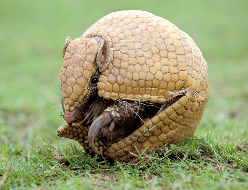 Devil's claw looms over World Cup's armadillo mascot