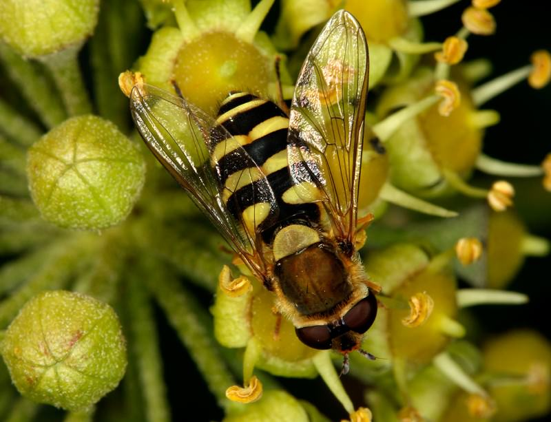 The fascination of hoverflies on a small island