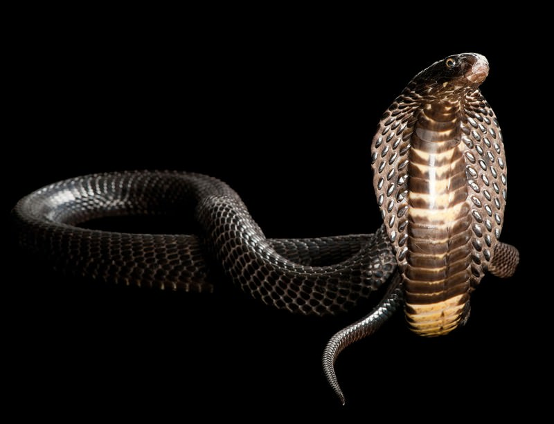 Extreme evolution: How snakes became the über-eater