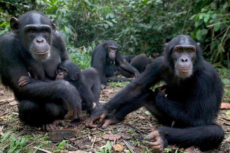 Chimps off the old block, when it comes to smarts
