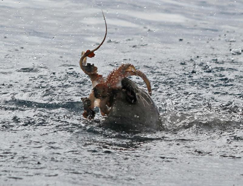 World's most endangered seal seen wrestling octopus
