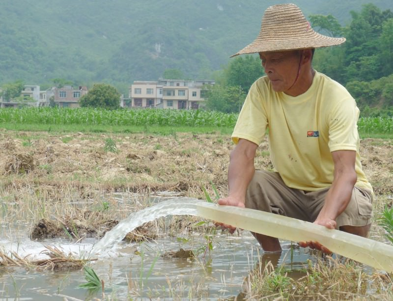 Rice cultivation has consequences for the environment
