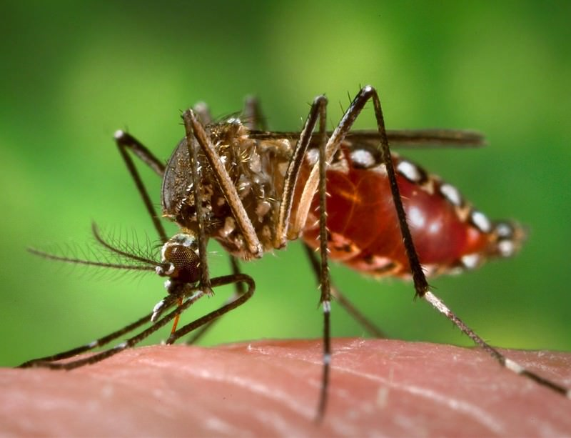 The Aedes aegypti mosquito can infect humans with dengue