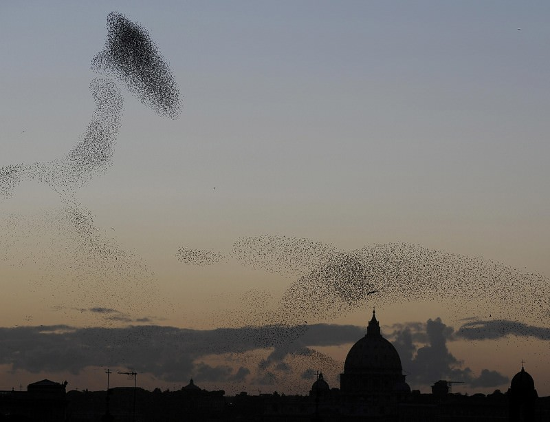 Starlings don't get into a flap, they go with the flow