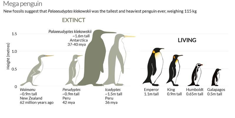 Extinct mega penguin was tallest and heaviest ever