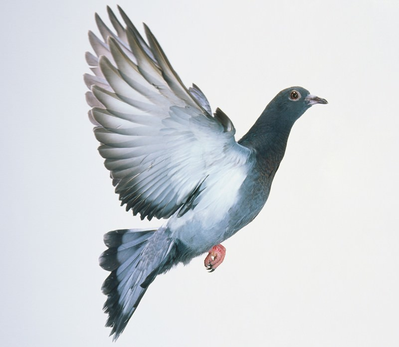 Rock dove: dish of the day for Neanderthals