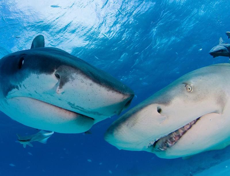 A tiger shark and a lemon shark cast critical eyes on a camera