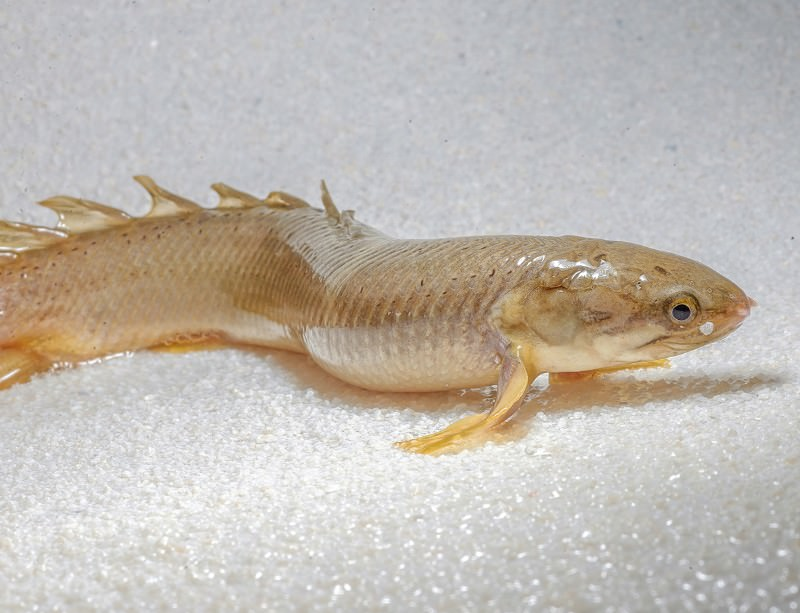 Bichir fish raised on land became better walkers