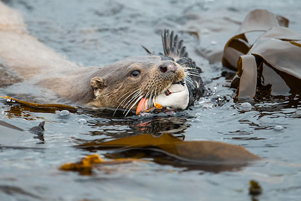 Otter snacking on a puffin wins photography prize