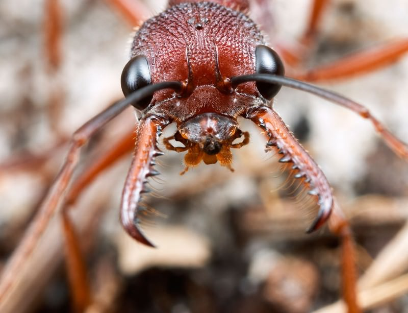 Zoologger ants fight dirty in turf war with spiders new scientist the antagonist ccuart Choice Image