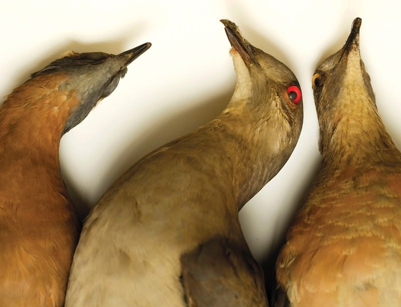 Beautiful but doomed: Demise of the passenger pigeon