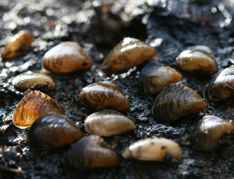 Quagga mussels on the march in the UK