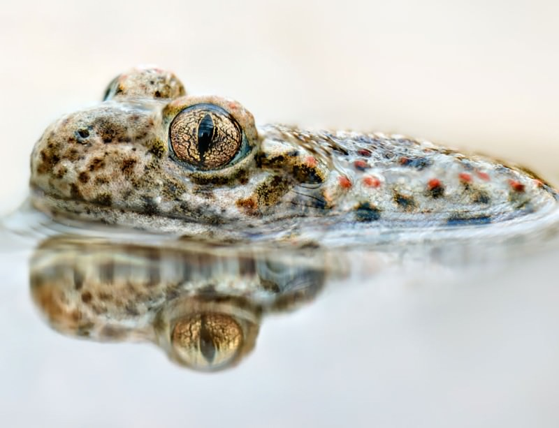 A virus has been wiping out common midwife toads in a Spanish national park