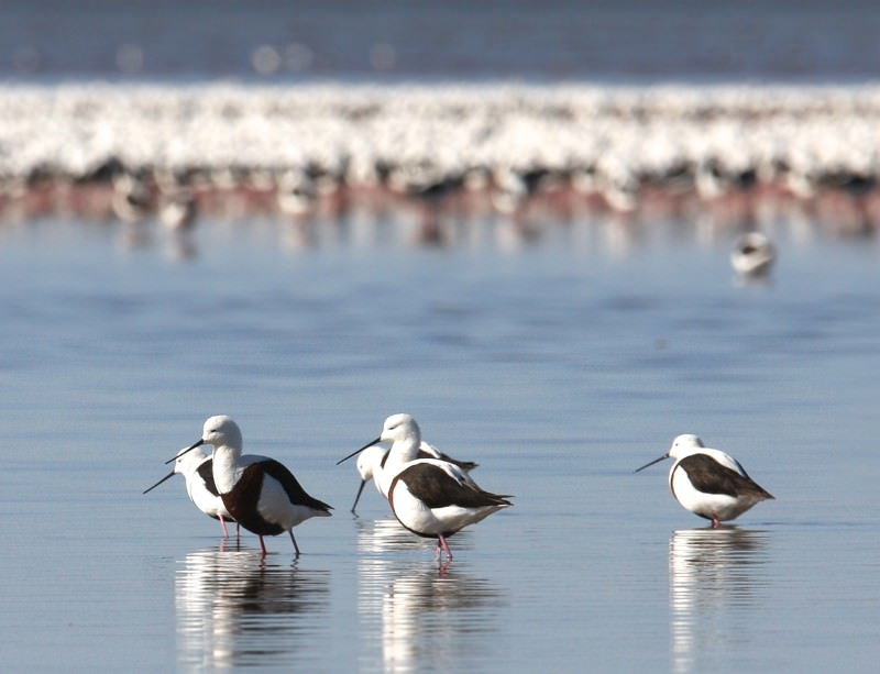 Banded stilts seem to be able to tell from thousands of kilometres away when the shrimps will be hatching