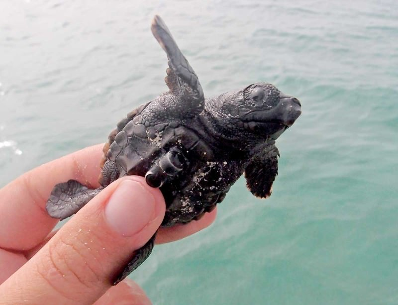 African baby turtles start life with a 24-hour swimathon