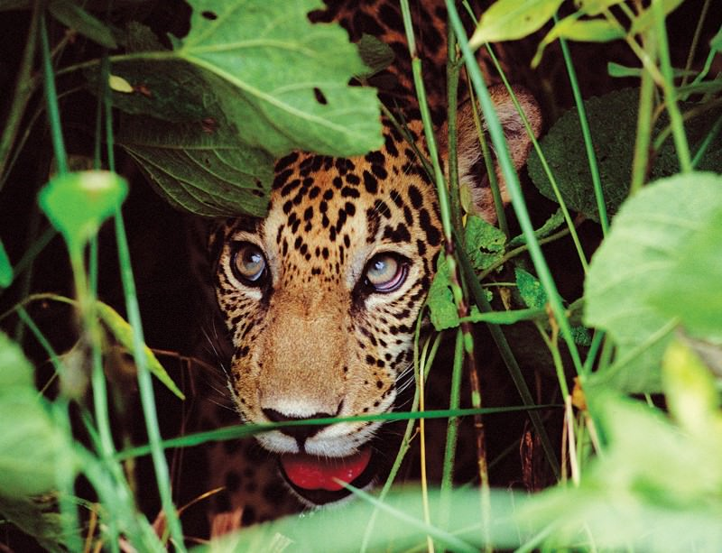 The jaguar whisperer who gave them a voice